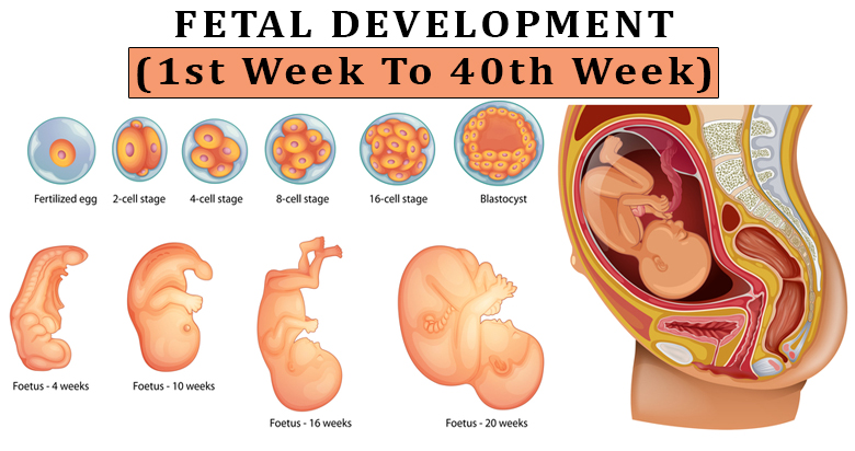 Pregnancy Week By Week- Fetal Development Week 1 To 40 In ...